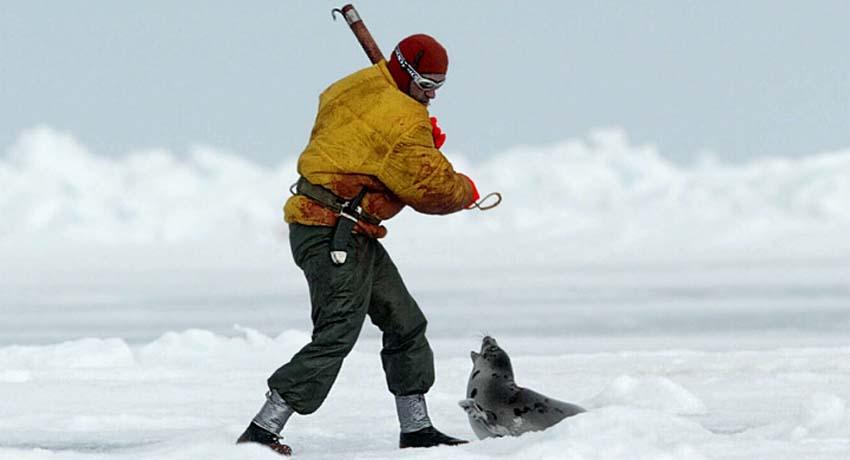 Cada año, sobre los hielos de la Península del Labrador y de Newfoundland, al abrirse la primavera, tiene lugar la mayor carnicería mundial de mamíferos. Cientos de miles de focas, de entre 12 días y 12 meses de edad, mueren a golpes para que su preciada piel, su grasa y sus penes lleguen al mercado occidental como productos de lujo, dietéticos o afrodisíacos. Los vídeos y fotografías ponen en evidencia de forma incontestable cómo los cazadores arrastran por el hielo con los bicheros a bebés vivos y conscientes, pegándoles un tiro y abandonándolos para que agonicen allí tirados, incluso los despellejan vivos. Sólo os dejo unas imágenes que muestran la crueldad de esta práctica.   Si estas imágenes os indignan lo suficiente como para no poder quedaros de brazos cruzados, aquí tenéis unos cuantos enlaces que os serán útiles: Para que no se compre marisco canadiense hasta cesar la caza de focas:http://www.hsus.org/index-seals.html Petición al gobierno de Canadá para que prohiba la caza de focas: http://www.stopthesealhunt.co.uk Petición al gobierno de Canadá para que cese la caza de focas: http://www.laspieles.org/ O bien, súmate al boicot contra Canadá en http://www.boycott-canada.com/