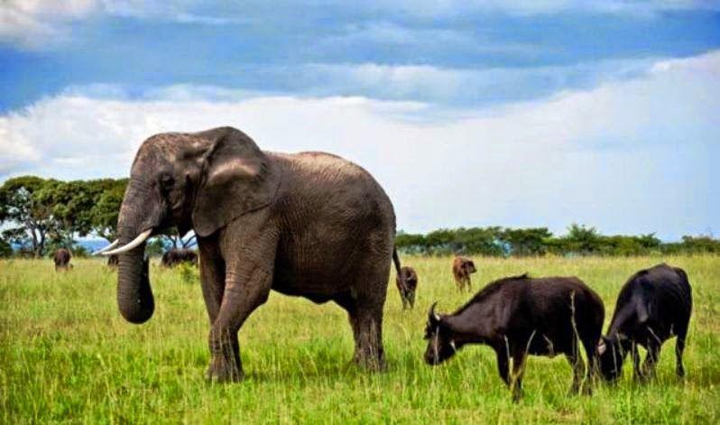 Nzou, el elefante que se siente búfalo