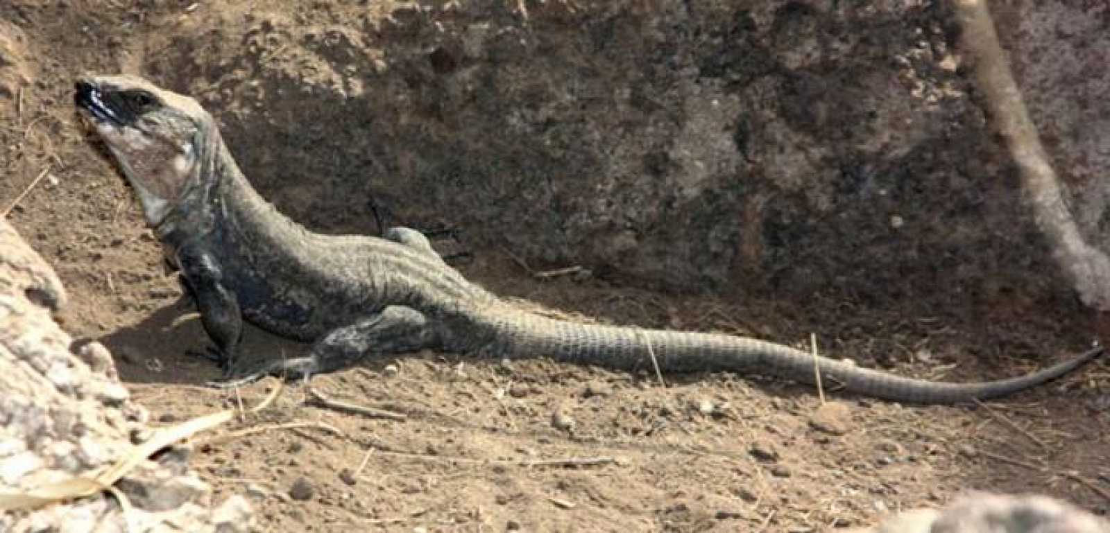 A punto de extinguirse el lagarto gigante de El Hierro