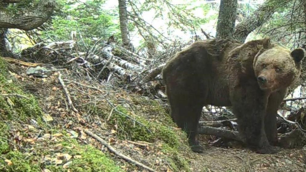 osos del Pirineo