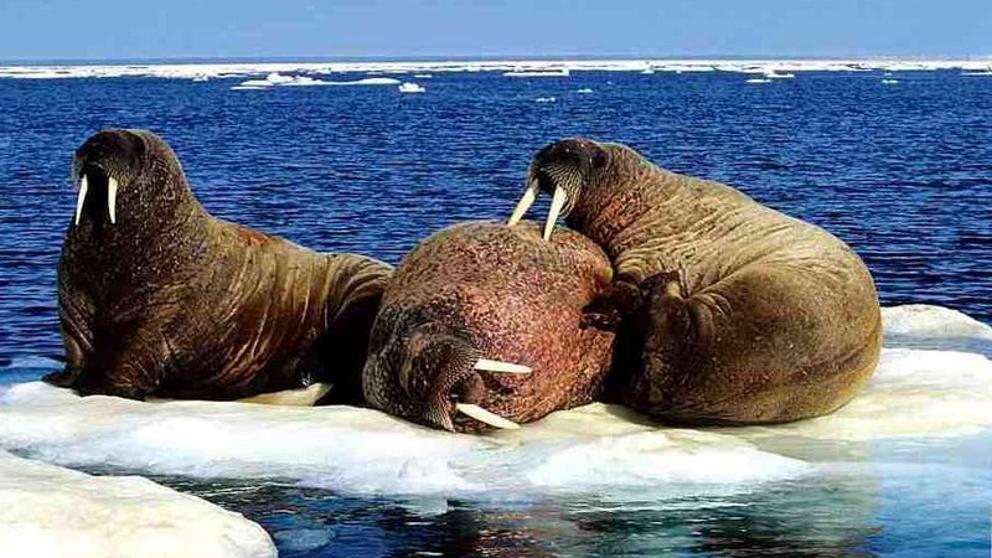 Las morsas varadas de Alaska