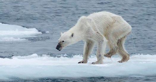 Un oso polar avisa del cambio climático