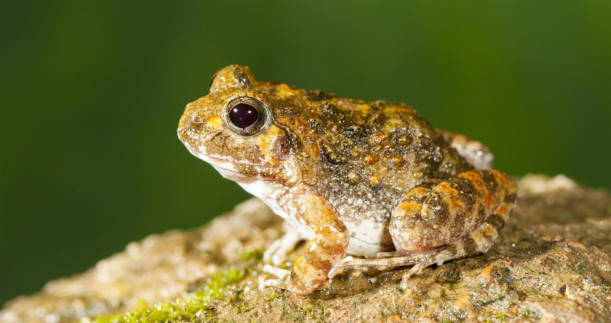 La nueva especie de rana en la India